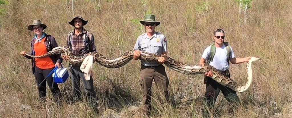 A 17-Foot Python Just Caught in The Florida Everglades Has Set a Devastating Record