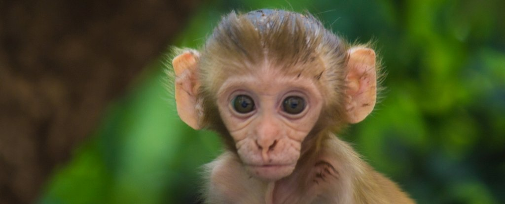 Ethically Fraught Experiment Has Produced Monkeys With Added Human Brain Genes