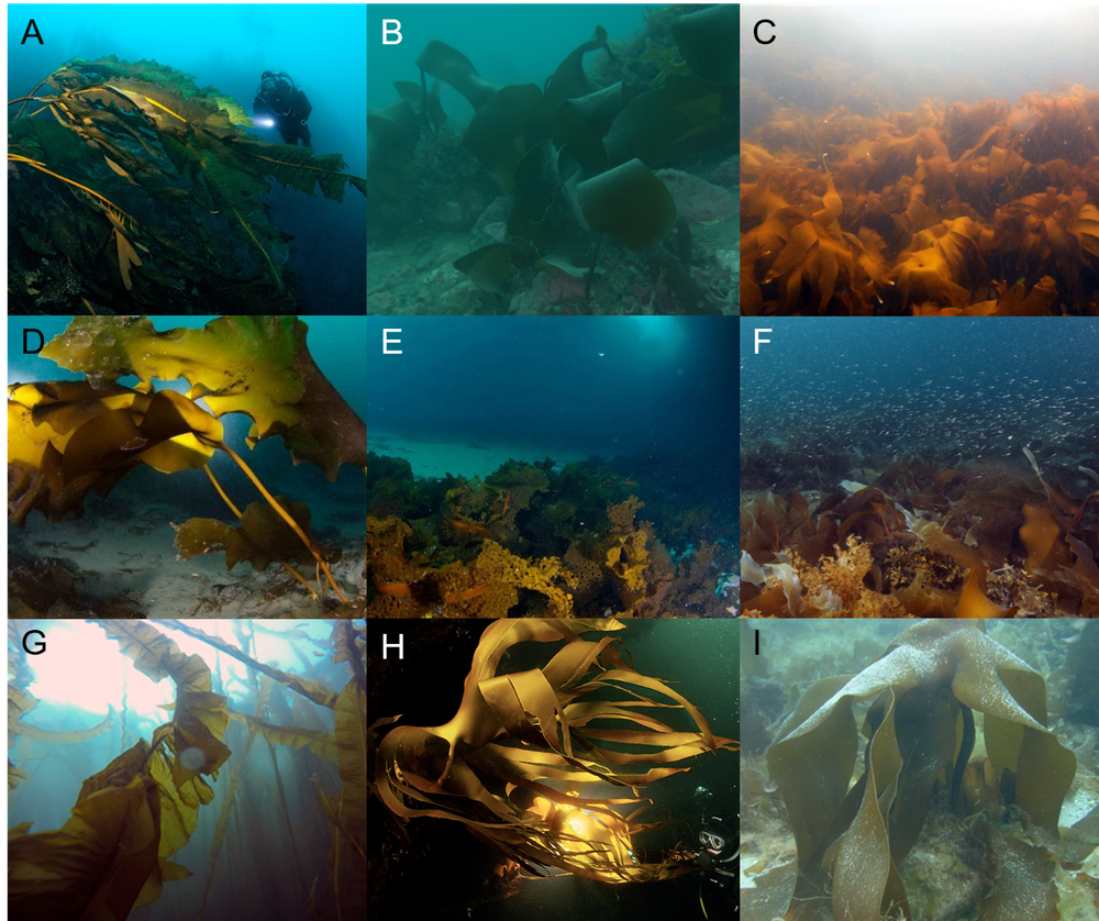 Examples of Arctic kelp forests from greenland (A) to Norway (I). (Karen Filbee-Dexter, Author provided)
