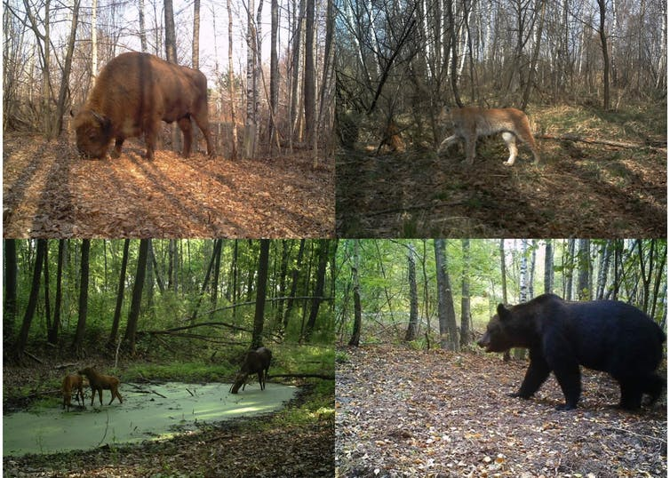 European bison, boreal lynx, moose and brown bear photographed inside Chernobyl Exclusion Zone (Ukraine). (Proyecto TREE/Sergey Gaschack)