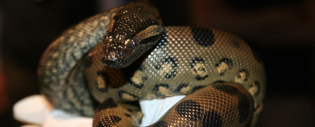 reputable site 8c28a 8d9b2 An anaconda in the US has impregnated herself and given birth without male  contact