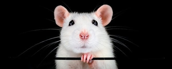 Spraying Stem Cells Up The Noses of Mice Has Restored Their