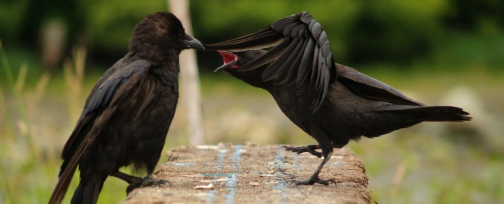 Sulky Ravens Share Their Bad Mood With Their Friends