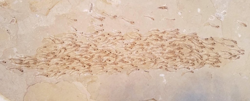 Incredible Fossil Discovery Shows an Entire School of Fish From 50 Million Years Ago