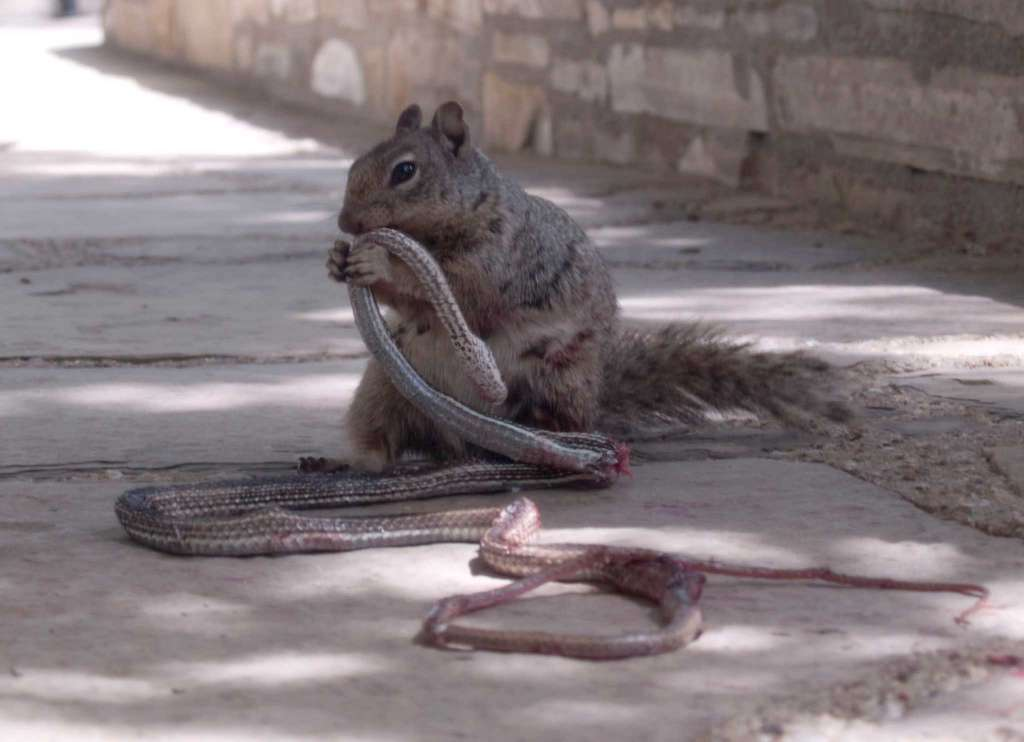 squirrel eating snake part 3