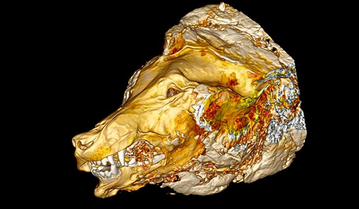 1e470cac76847 A Giant Severed Wolf Head From 40,000 Years Ago Has Been Unearthed ...