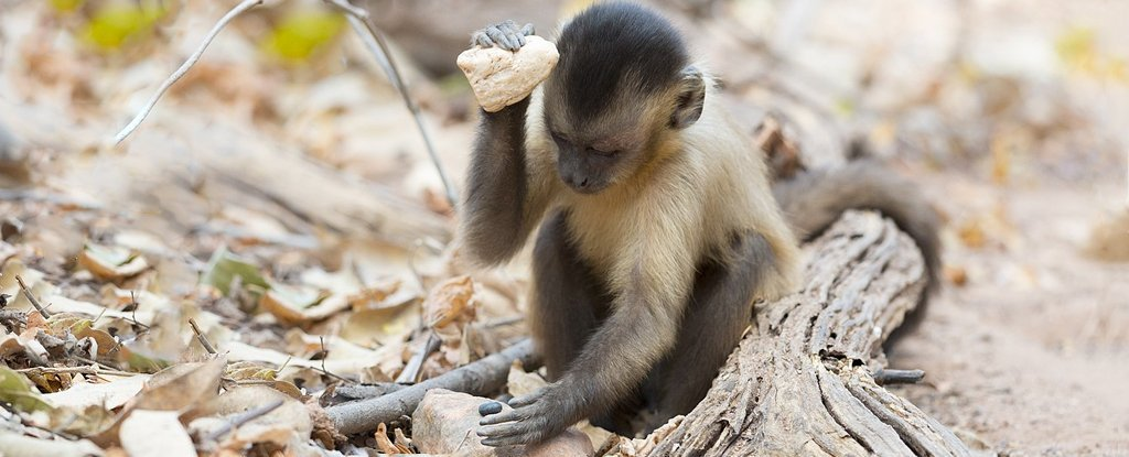 Capuchin Monkeys May Have Been in Their Own Unique 'Stone Age' For at Least 3,000 Years