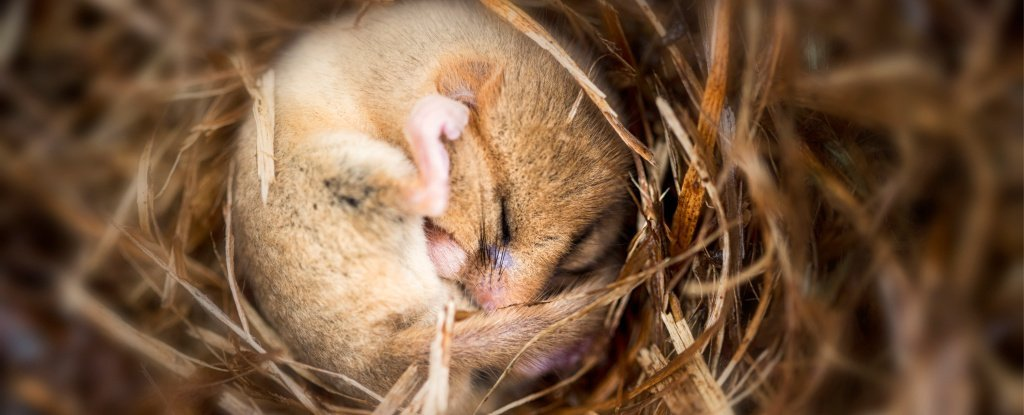 Genius Mouse Experiment Reveals How Temperature Affects Our Dreams at Night