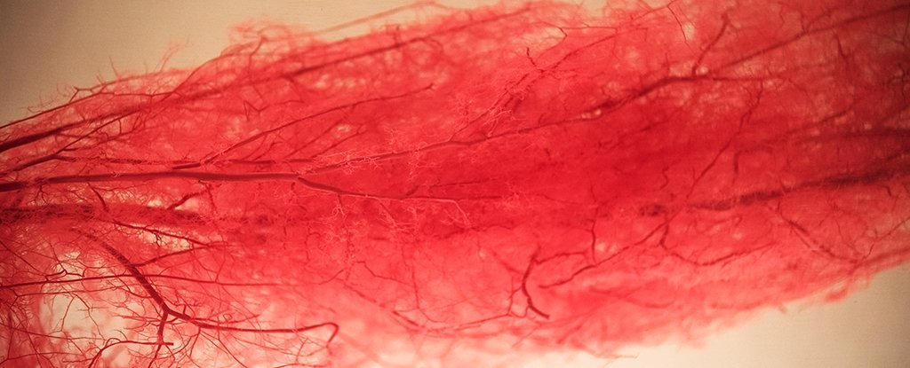 We Finally Know Why Arteries Harden With Age, And There Could Be a Surprising Fix For It