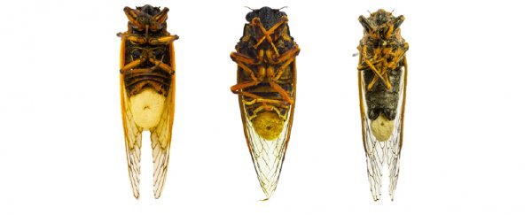 Fungal Hallucinogens send Cicadas on sex binges after their genitals fall off