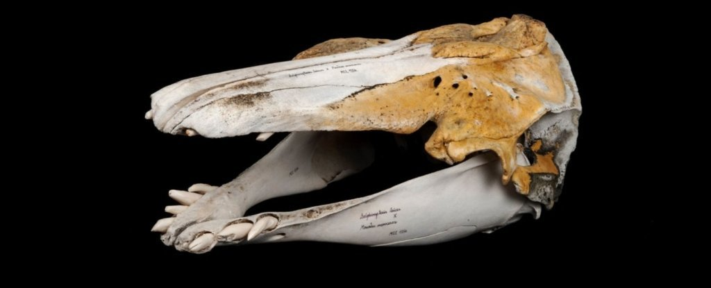 Unusual Skull Turns Out to Be Ultra-Rare Hybrid of a Narwhal And a Beluga Whale
