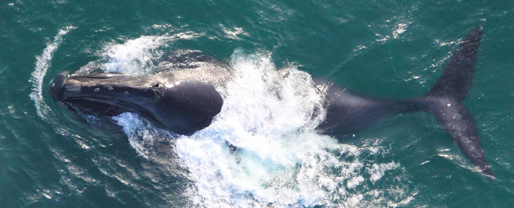 For The First Time, Scientists Record The Songs of One of The World's Rarest Whales