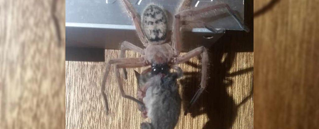 Horrifying Photos Show a Huntsman Spider Trying to Devour an Entire Possum