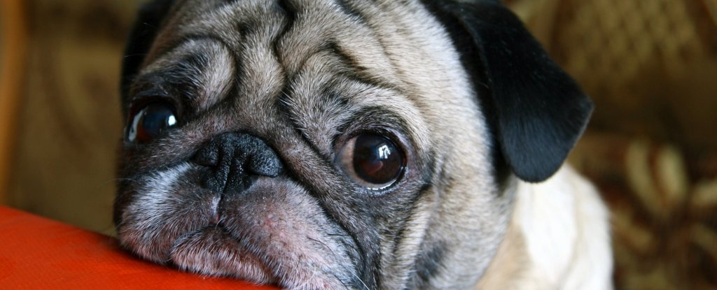 'Puppy Dog Eyes' May Have Evolved Just to Make Humans Melt - And It's Working