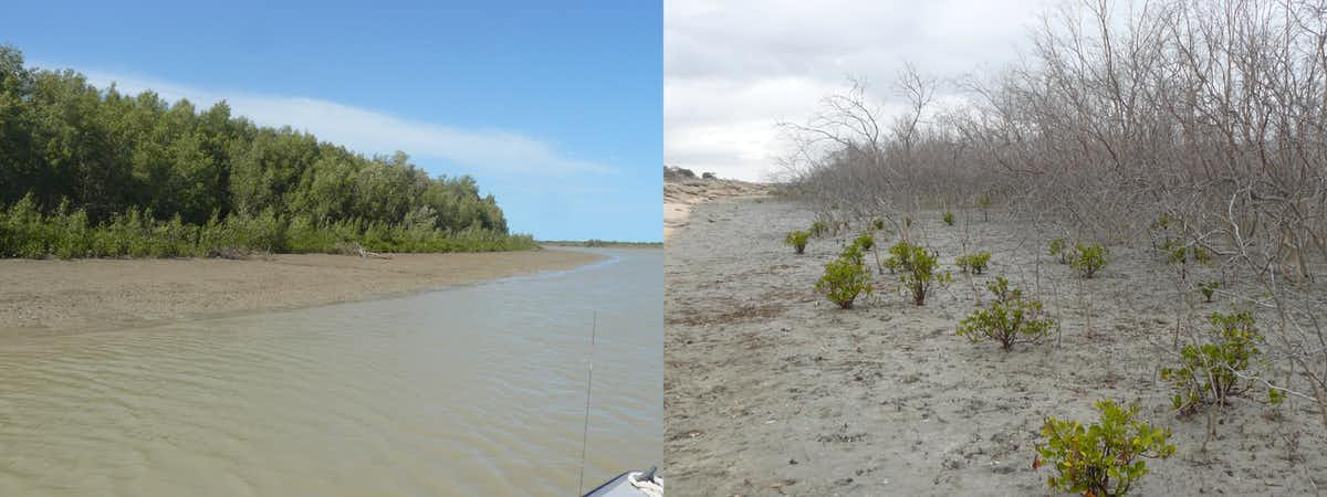 Healthy mangrove forest (left) and dead mangrove forest (right) at Flinders River. (Robert Kenyon)