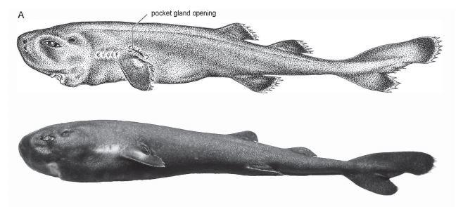 pocket shark on side