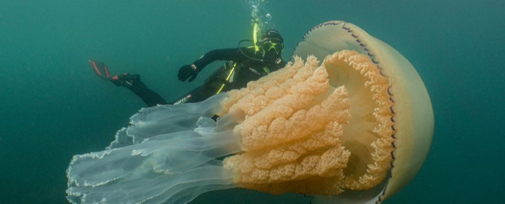 A Mesmerising Jellyfish as Big as a Human Has Been Spotted Off The Coast of The UK