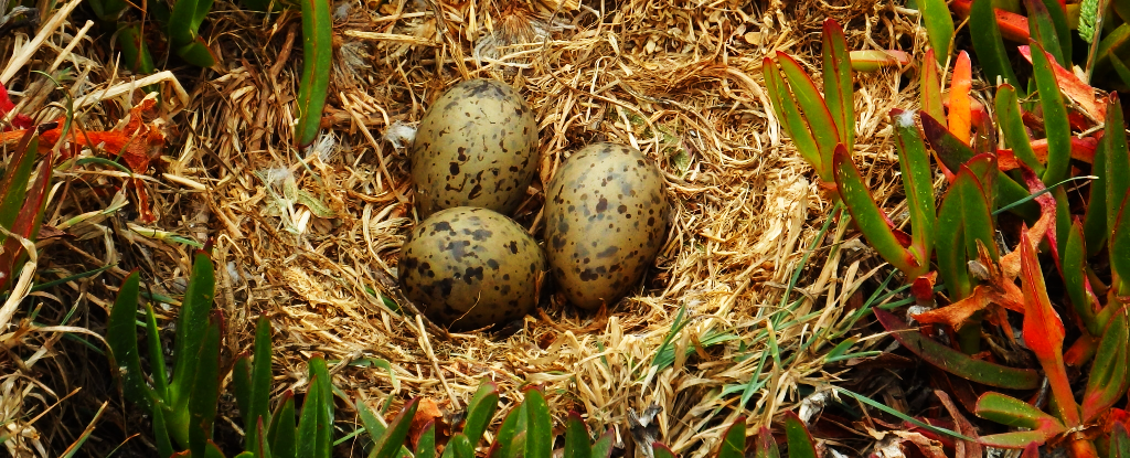 We Just Learned Baby Birds Communicate With Each Other From Inside Unhatched Eggs