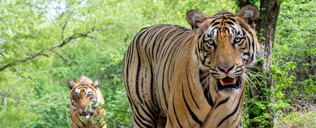 Finally, We Have Some Good Nature News: Tiger Numbers in India Are Rebounding