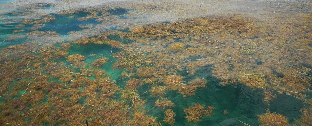 Scientists Discover The Largest Seaweed Bloom Ever Found, And It's Still Growing