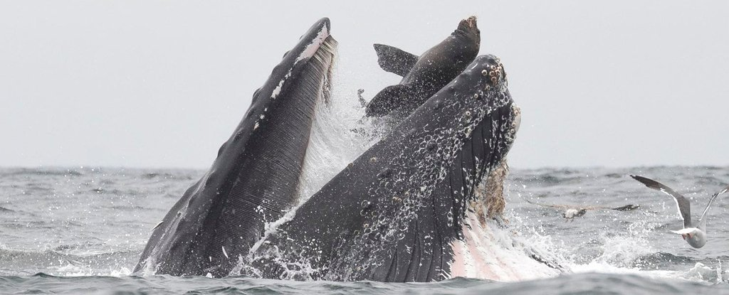 Incredible Photo Captures The Exact Moment a Sea Lion Ended Up in a Whale's Mouth