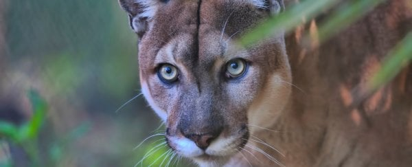 Florida panthers are stumbling like they're poisoned, and scientists don't know why