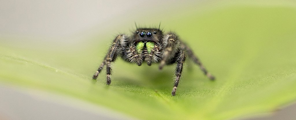 Baby Jumping Spiders Are Watching Us, Their Eyesight Is That Good