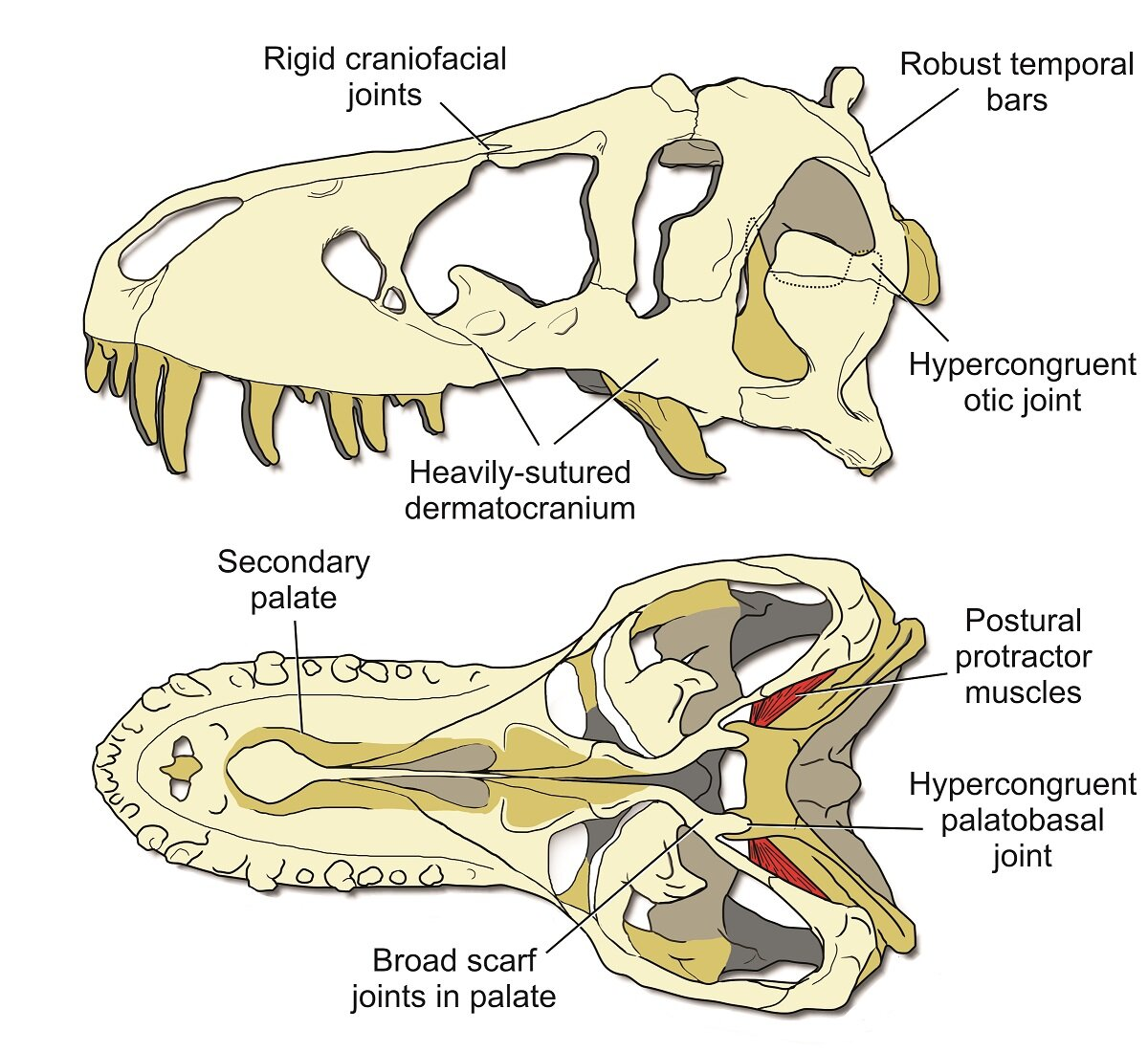 Key features of a stiff <em>T. rex</em> skull. (University of Missouri)