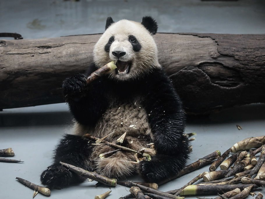 A giant panda munching on tough bamboo. (Wang He/Getty Images)