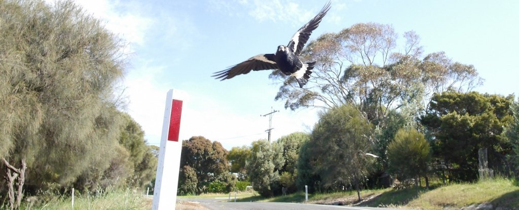 'Very Aggressive' Swooping Magpie Causes Deadly Cyclist Crash in Australia
