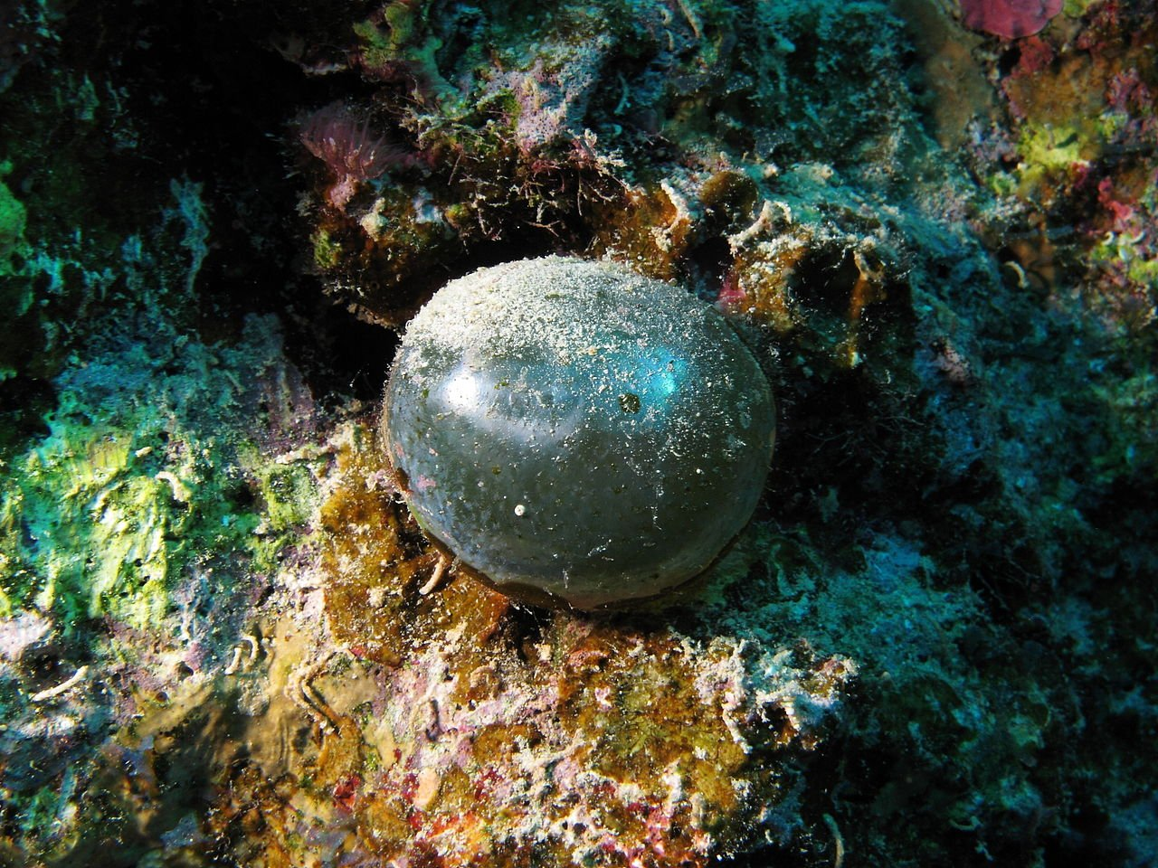 1280px Valonia ventricosa in the Red Sea