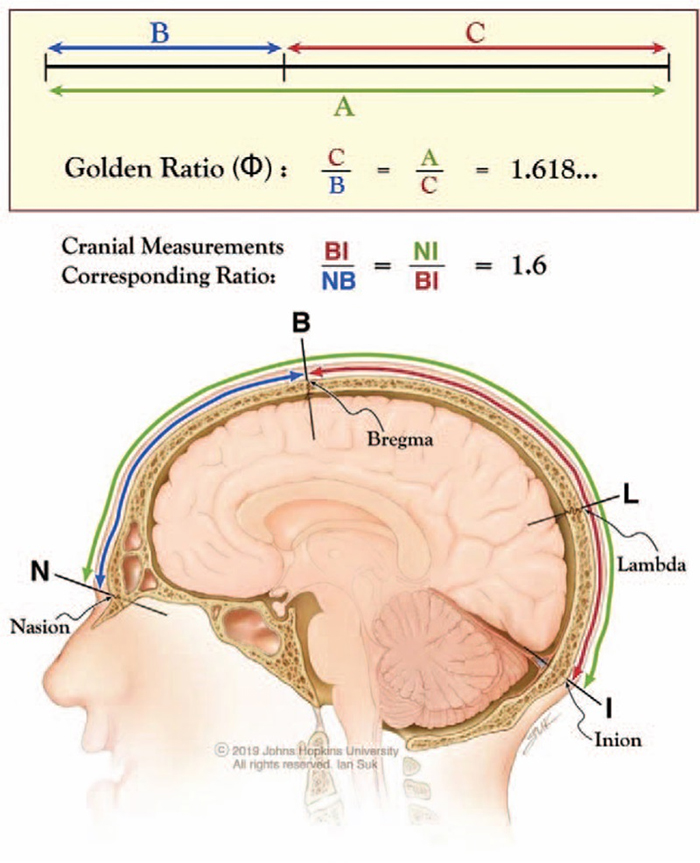 Golden ratio distances in the human skull