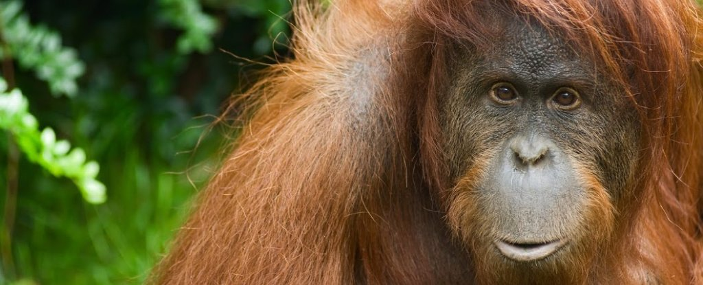 Orangutans Can Play The Kazoo, And It's Changing Our Knowledge of How Speech Evolved