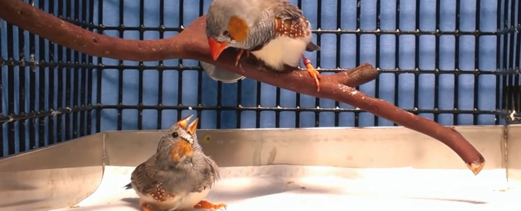 Scientists Implant False Memories in Birds to Teach Them Songs They've Never Heard