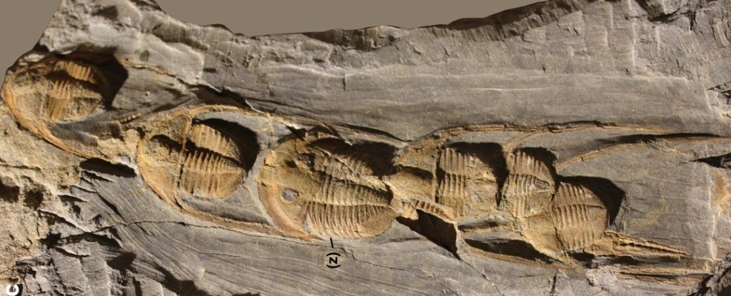 Half a Billion Years Ago, Trilobites Died in Strange, Orderly Lines. Now We May Know Why