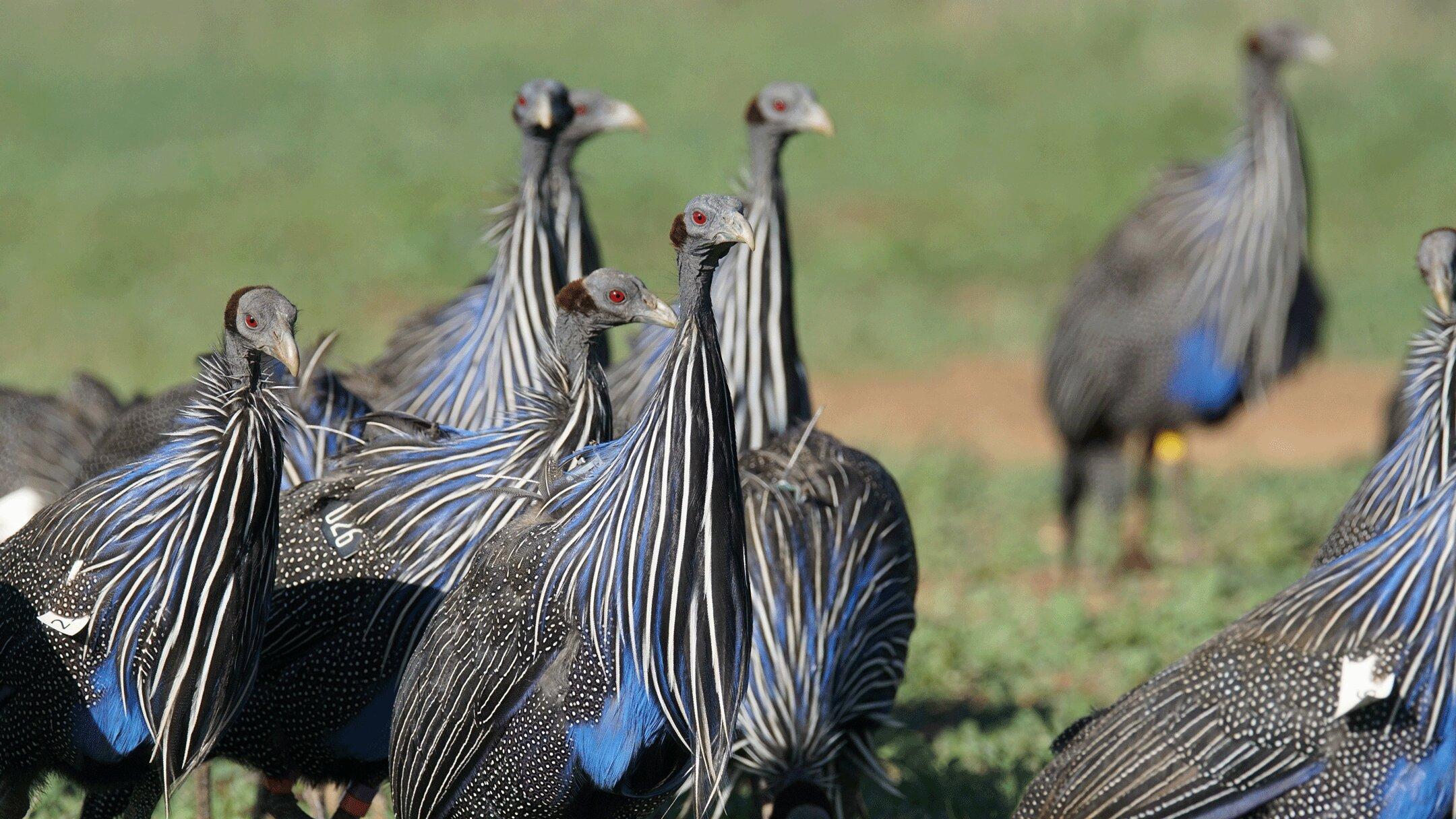 Vulturine guineafowl move across the landscape in large groups. (James Klarevas)