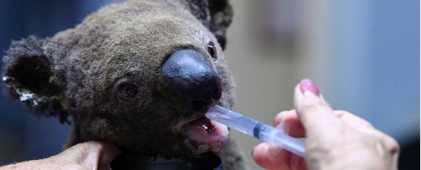 Entire koala colonies are being ravaged by Australia's devastating, ongoing bushfires