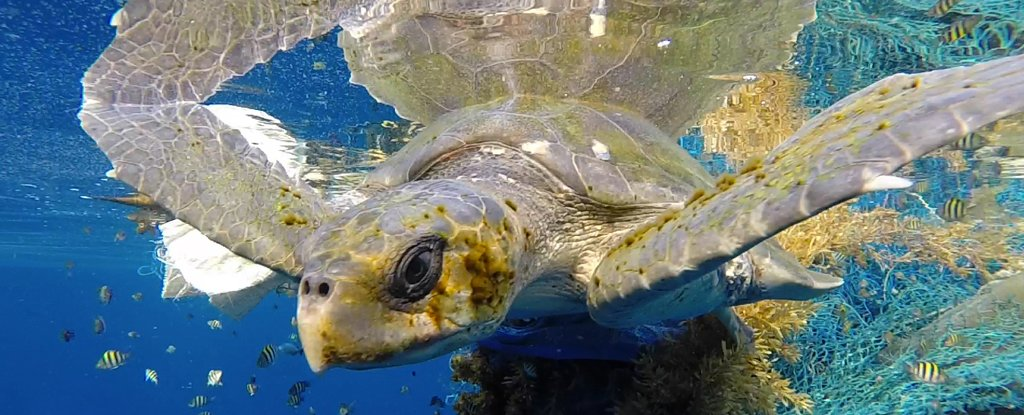 Mesmerising Footage Shows The Greatest Density of Sea Turtles Ever Recorded