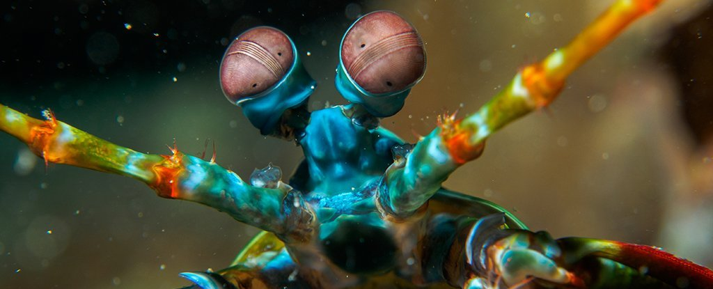 We May Finally Know Why Mantis Shrimp Have The Most Ridiculous Vision of All Animals