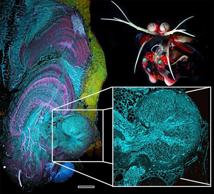 reniform mantis