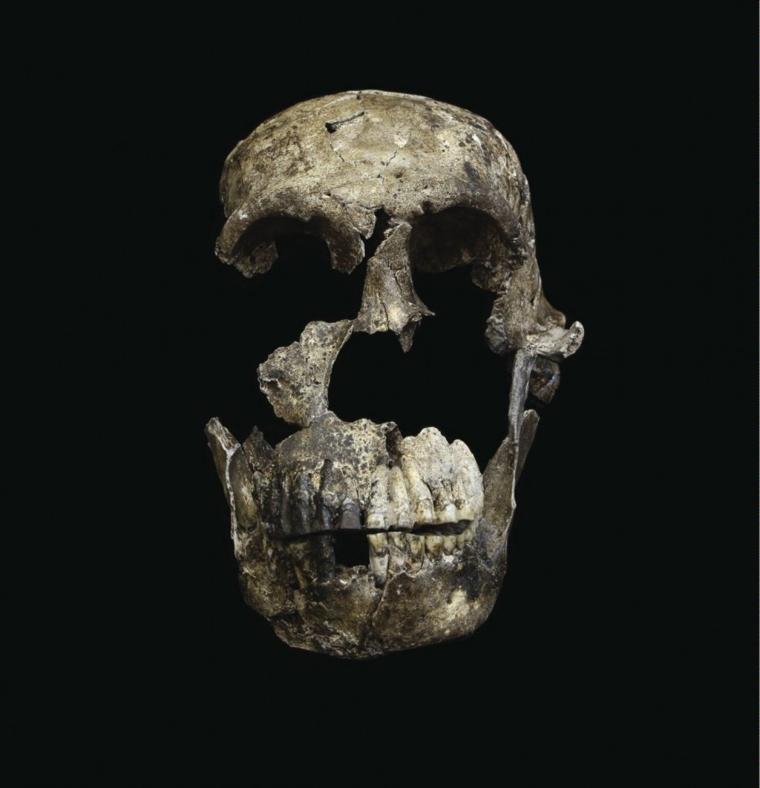 """Neo"" skull of Homo naledi from the Lesedi Chamber. (John Hawks/University of the Witwatersrand)"