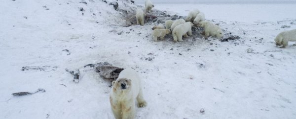 More than 50 polar bears are gathered outside a Russian village because of melting ice
