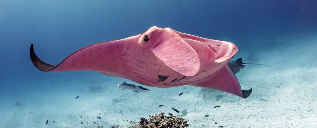 Startling New Photos Reveal The World's Only Known Pink Manta Ray