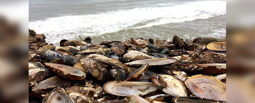 Half a Million Mussels Appear to Have Cooked Alive on a New Zealand Beach