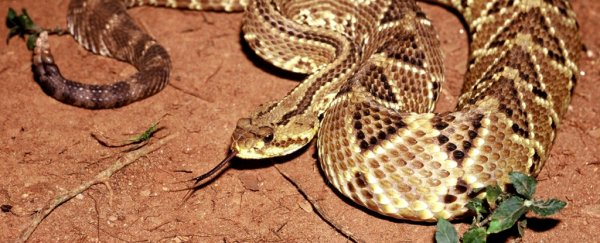 We just got closer to producing painkillers from rattlesnake venom