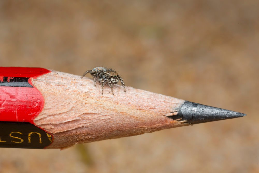 jumping spider on a normal pencil