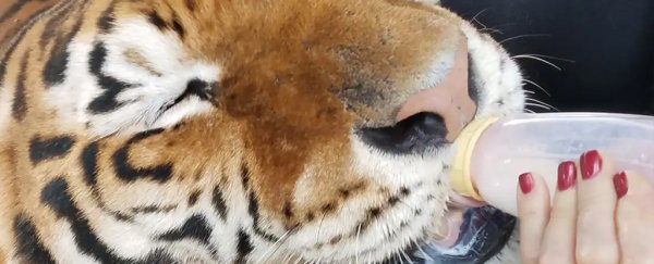 Here's the heartbreaking wildlife issue 'Tiger King' didn't talk about enough