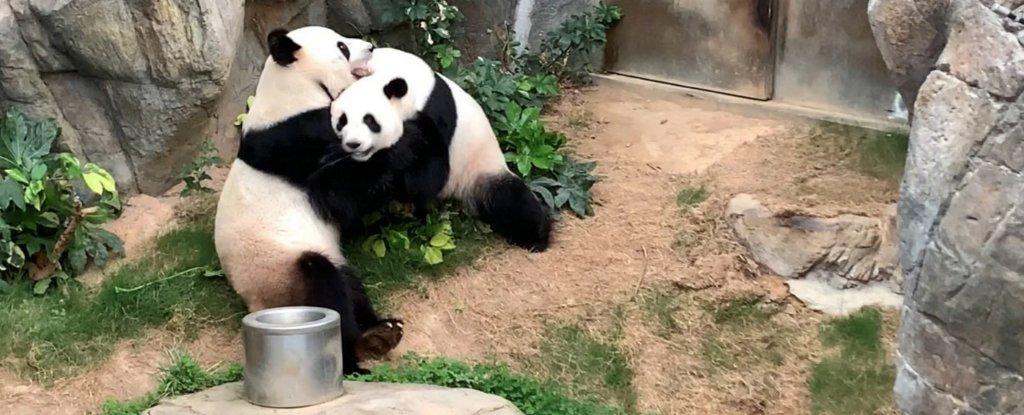 Los pandas mantenidos juntos durante 10 años finalmente se aparearon durante el encierro del coronavirus 41