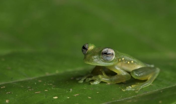We Might Finally Understand Why Glass Frogs Have Strangely Transparent Skin