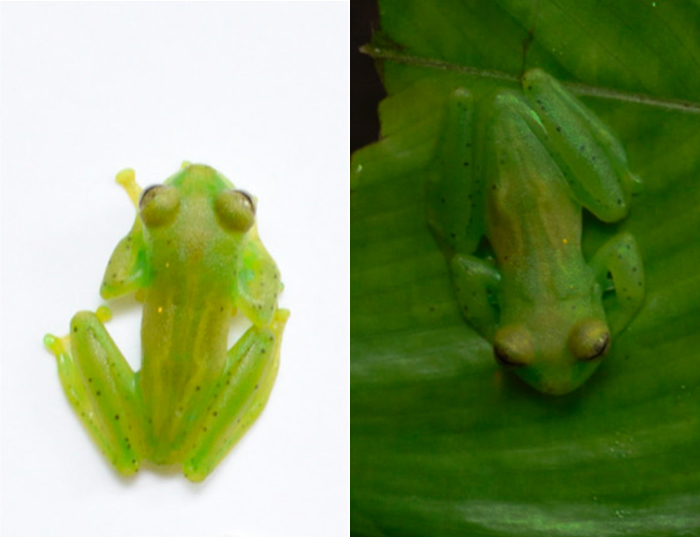 010 glass frogs 2
